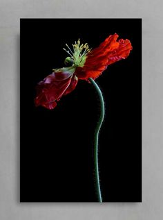 FLORAL WALL ARTPoppy Flower Photography PrintRed & Black image 1 Red Wall Decor, Artist Sketchbook, Floral Wall Art, Buy Art Online, Photo Colour, Red Poppies, Original Artwork, Black Image, Flower Photography