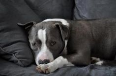 Raina is an adoptable Pit Bull Terrier Dog in Aberdeen, NJ.   Raina (gray and white) She is a ball of energy. We call her Rai or Rai Rai. She answers to both. Rai has a personality that will keep you ...