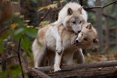Arktischer Wolf by Thomas Krüger on 500px