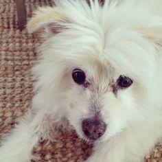 Day 20 of #100daysofjackamo Look into my beautiful brown eyes! #jack #vetsdog #dogsofsydney #rescuedog #dogs #dogstagram #dogsofinstagram #instadog #maltese #drbelindathevet #love #browneyes #puppydogeyes #lovemydog #drbelindathevet