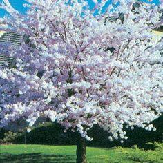 Autumn Flowering Cherry :: Fruit Trees | Berry Plants | Rose Bushes | Perennials