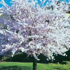 Autumn Flowering Cherry :: Fruit Trees | Berry Plants | Rose Bushes | Perennials