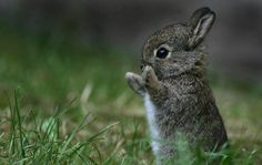 A brown rabbit standing on its hind legs with its front paws raised up in the grass.