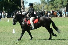 Percheron gelding  Equilibre Pope  5 year old