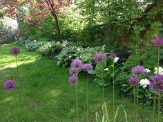 Alliums in June