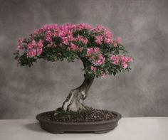 Increible pagina en español para aprender sobre el arte bonsai