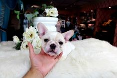French Bulldog Puppies from dog breeders. Frenchie For sale in south Florida. We have some Mini French Bulldog and standard Bulldogs for sale Small Puppies For Sale, Teacup Dogs For Sale, Tiny Puppies, Best Puppies, Cute Puppies, Cute Dogs, Bulldogs For Sale, Bulldog Puppies For Sale, French Bulldog Puppies