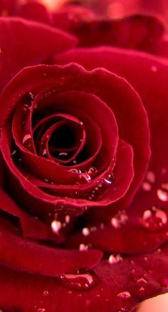 ♥ Red rosé