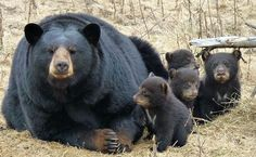 Mamma bear and her four cubs