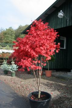 Acer palmatum Osakazuki. In Autumn, the bright green summer leaves become brilliant crimson red and hold that color for several weeks. New foliage emerges olive-orange.