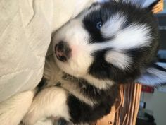 Litter of 7 Siberian Husky puppies for sale in UNION, KY. ADN-64284 on PuppyFinder.com Gender: Male. Age: 5 Weeks Old