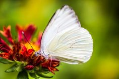 Southern White Butterfly by Cathy Donohoue on Crated Framed Prints, Canvas Prints, Art Prints, White Butterfly, Slacks, Fine Art America, Art Pieces, Southern, My Arts