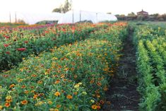 Succession Planting: How To Keep The Harvest Going All Season Long (Floret Flower Farm) Types Of Flowers, Types Of Plants, Cut Flowers, Growing Flowers, Planting Flowers, Flowers Perennials, Succession Planting, Cut Flower Garden, Cut Garden