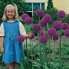 "Gladiator Allium 69858	 - For each offer ordered, get 3 bulbs.Price:Each - $19.99. Height: 50 inches - 60"" Spacing: 10"" - 12"" Depth: 6 inches Sun/Shade: full sun to partial shade Color: violet - purple. Blooms: early summer, blooms for about 3 weeks--Back row x6 plants"