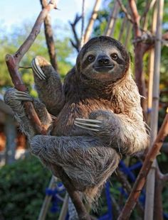 Happy rescued sloth relaxing and holding his pot belly. - Happy rescued sloth relaxing and holding his pot belly. Happy Animals, Animals And Pets, Funny Animals, Cute Sloth Pictures, Animal Pictures, Sloth Photos, Cute Baby Sloths, Baby Otters, Three Toed Sloth