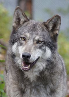 Wolf Sanctuary - Today's resident spotlight is Cree! She is a female born April 6, 2005 and given her second chance with W.O.L.F. on April 5, 2013. Cree has come along way since arriving at W.O.L.F. and loves her companion Matoskah. Read more about Cree on our website!