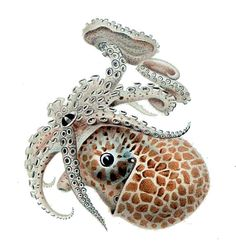 Die Cephalopoden Ewald Rübsamen File:Argonauta sp.jpg