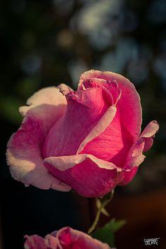 55a Exposició Nacional de Roses - Sant Feliu de Llobregat