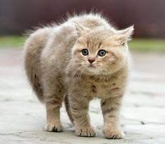 A scared kitten that has arched its back and puffed out its hair.