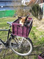 Here are some pictures of a foldable-thing-to-take-the-dog-with-me-on-the-bike. It takes a lot of groceries too. It appears that a former chair that was meant to be carried on a rack has been sacrificed . . . For the good of dogkind