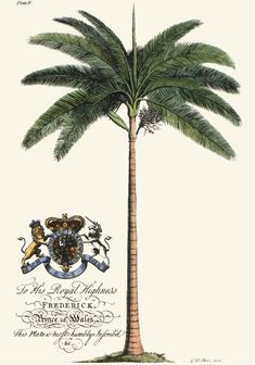 "I love the old prints! Palm Pl.IV Female Palm Tree Engraved by G.E. after a picture by Georg Dionysius Ehret. This is a recently comissioned copper plate etching based on a print originally published in 1750 to illustrate the Rev. Griffith Hughes book ""The Natural History of Barbados"".  Size 12 x 8 inches (30 x 20 cms.)  Ref Q202."