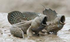 Long-finned goby,Bluespotted mud hopper(Boleophthalmus pectinirostris)ムツゴロウ