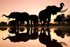 Occupation: Girl | awkwardsituationist: elephants silhouetted by...