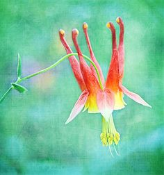 columbine...blues, reds, greens, remember to plant more columbine :)