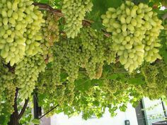 180 Best Greek Grapes & Vineyards images in 2016 | Grape