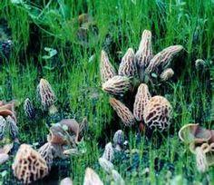 Morel mushrooms...yum!