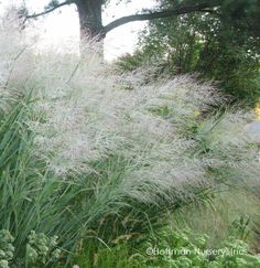 Also called Silky Thread Grass or Mexican Needle G Promotion 100 seeds // pack Stipa tenuissima Mexican Feather Grass Seeds