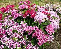 Sweet William...sweet!