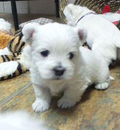 Puppies for sale - West Highland White Terriers, Westies - in Bellflower, Missouri 650