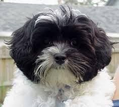 Image Result For Cutest Shih Tzu Cross Poodle Dog In The World