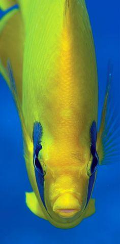 Butterfly Fish - ©Luis Javier Sandoval Alvarado / seazoom.com (via AgentLiveAboard)