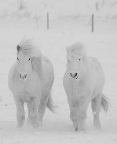 Two fluffy beautiful white horses standing in the snow. Please also visit www.JustForYouPropheticArt.com for colorful, inspirational art (some horse paintings) and stories. Thank you so much!