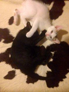 牛柄 #Cat #Baby #子猫 #黒猫 #白猫