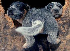 Goofy pups