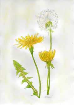 Watercolor Dandelion Tattoo, Dandelion Drawing, Dandelion Painting, Dandelion Flower, Plant Drawing, Watercolor And Ink, Watercolor Flowers, Dandelion Tattoo Meaning, Botanical Drawings