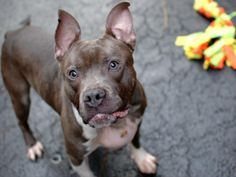 TO BE DESTROYED 11/26/13 Manhattan Center -P FELIX  A0985380  Male blue & white pit mix. 1 YR 6 MTHS  STRAY 11/19/2013 He is a dashing athlete. Despite the drains placed in his chest to help with his medical condition, Felix is surprisingly active, curious, & affectionate. Despite the drains placed in his chest to help with his medical condition,So, if you're looking for a handsome, sweet pup to share your love forever ,we  have a boy for you!