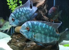 Hoplarchus psittacus - new center piece Tropical Freshwater Fish, Tropical Fish Aquarium, Freshwater Aquarium, Fish Aquariums, South American Cichlids, Monster Fishing, Underwater Life, African Cichlids, Angel Fish