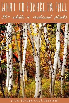 - What to Forage in Fall: Edible and Medicinal Plants and Mushrooms Learn what to forage in the fall. Autumn is the perfect time to go foraging, there is so much bounty. Forage for birch bark plus many other edible and medicinal plants! Edible Mushrooms, Stuffed Mushrooms, Wild Mushrooms, Chicken Of The Woods, Edible Wild Plants, Birch Bark, Birch Trees, Wild Edibles, Medicinal Plants