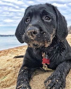 Mind Blowing Facts About Labrador Retrievers And Ideas. Amazing Facts About Labrador Retrievers And Ideas. Black Lab Puppies, Cute Puppies, Cute Dogs, Dogs And Puppies, Puppies Tips, Doggies, Black Puppy, Corgi Puppies, Black Lab Names