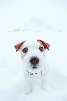 Fish eye pic of cute jack russel terrier puppy in the snow. Snowy mountain view dog photography.