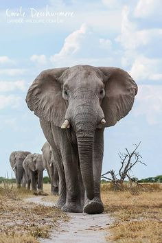 A herd of elephants march towards a waterhole in Nxai Pan, Botswana by Carole Deschuymere Wildlife Photography Herd Of Elephants, Elephants Photos, Elephant Pictures, Save The Elephants, Elephant Love, Elephant Art, African Elephant, African Animals, Elephant Photography