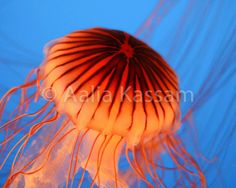 A Luminous Jellyfish Digital Download 8 x 10 by LuluSnaps on Etsy