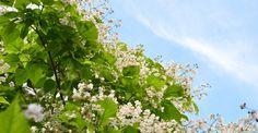 Paulownia, un arbore cu flori splendide | Paradis Verde