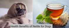 Stinging Nettles for dogs a painful and troublesome effect when direct contact. However, if it is used correctly, it offers many health benefits for dogs. Yeast In Dogs, Celtic Sea Salt, Dog Treat Recipes, Healthy Recipes, Dog Eating, Homemade Dog Food, Old Dogs, Fleas, Health Benefits