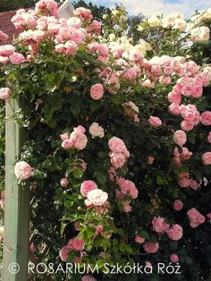 r ane cuda on pinterest roses rose photos and gardening. Black Bedroom Furniture Sets. Home Design Ideas