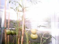 Primeros tomates